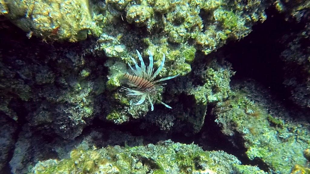 Lionfish in Falasarna, Crete
