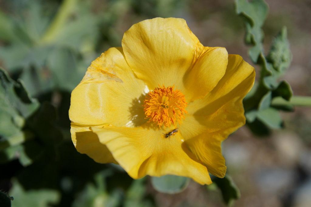 YellowPoppy